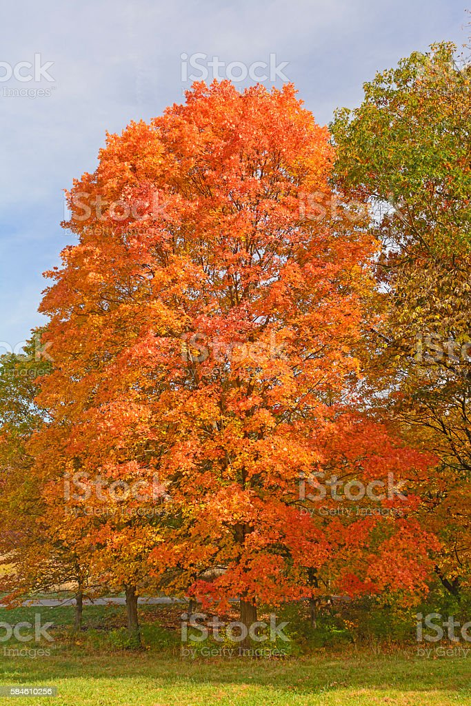 Sugar Maple in Fall Colors stock photo