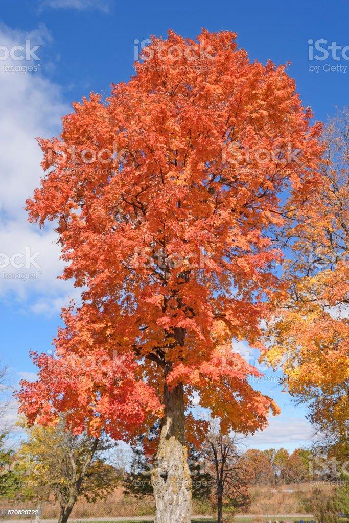 Sugar Maple in the Fall stock photo