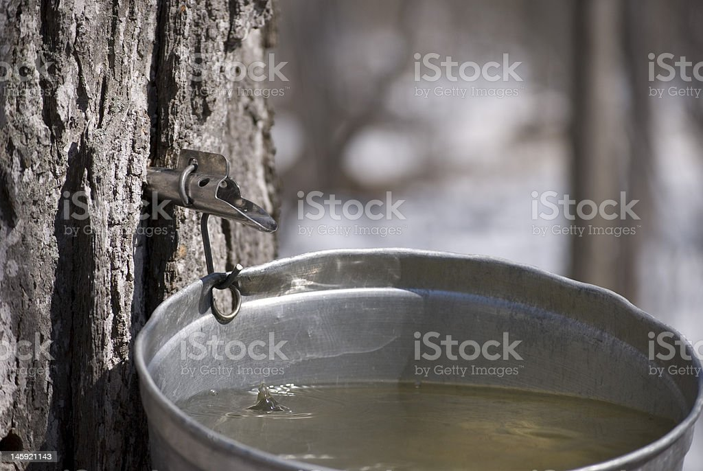 Sugar Maple sap dripping into a bucket stock photo