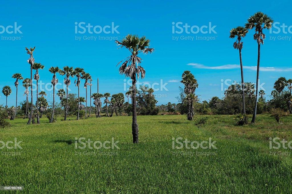Sugar palm field royalty-free stock photo