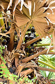 Sugar palm fruits