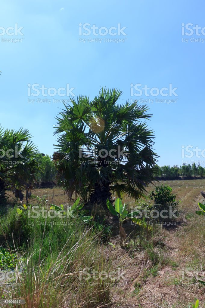 sugar palm in the garden stock photo