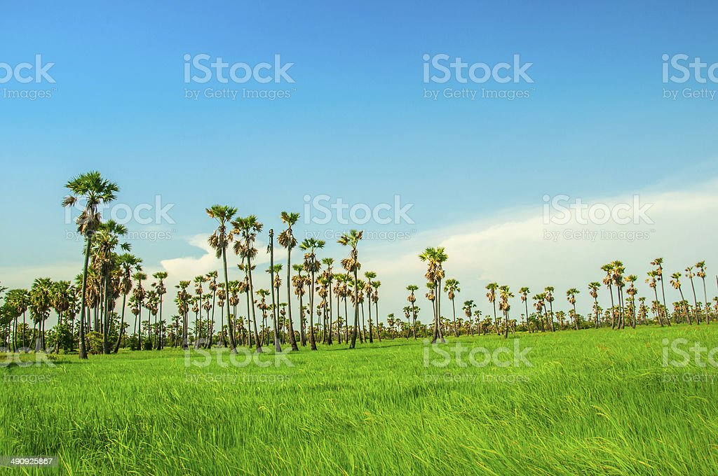 Sugar palm in the rice  field stock photo