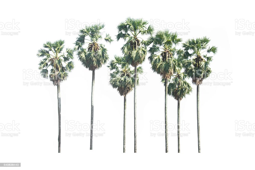 Sugar palm isolated on white stock photo