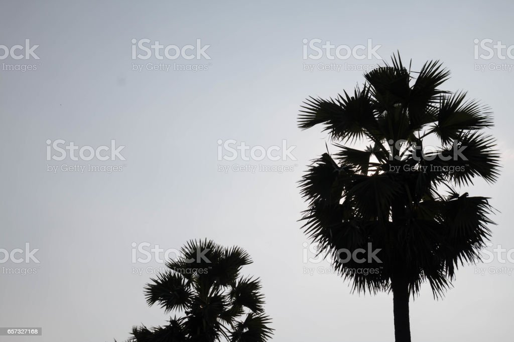 Sugar palm on sky. stock photo