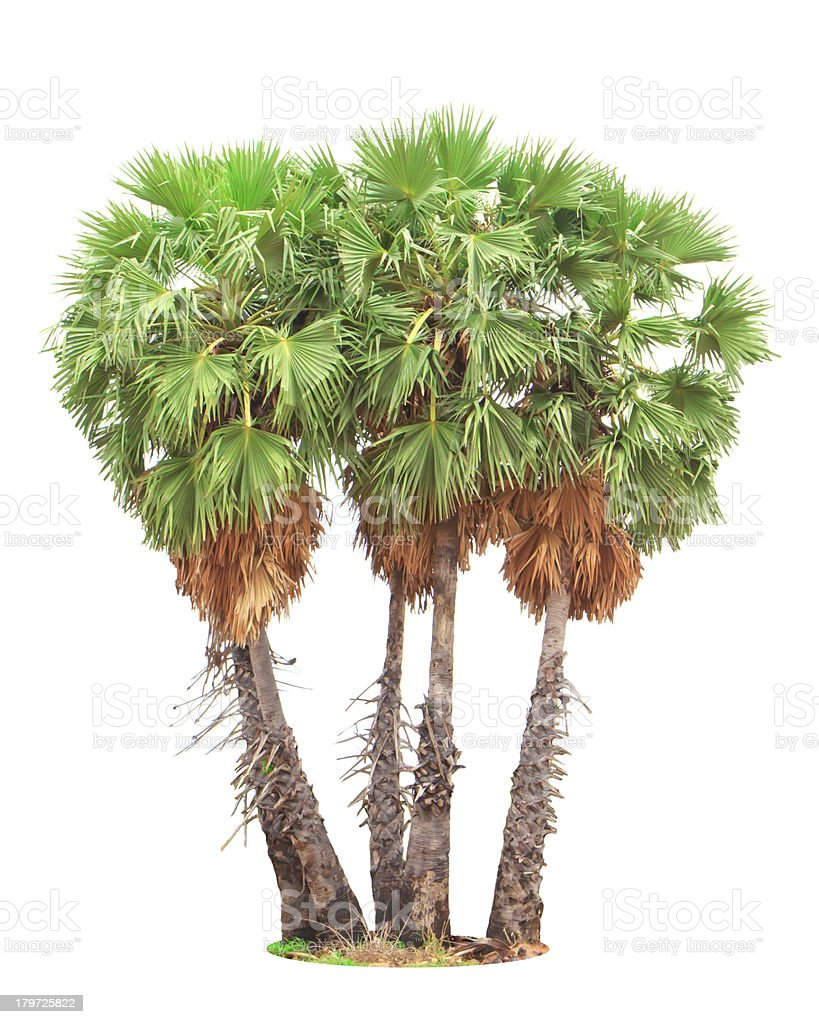 Sugar palm royalty-free stock photo