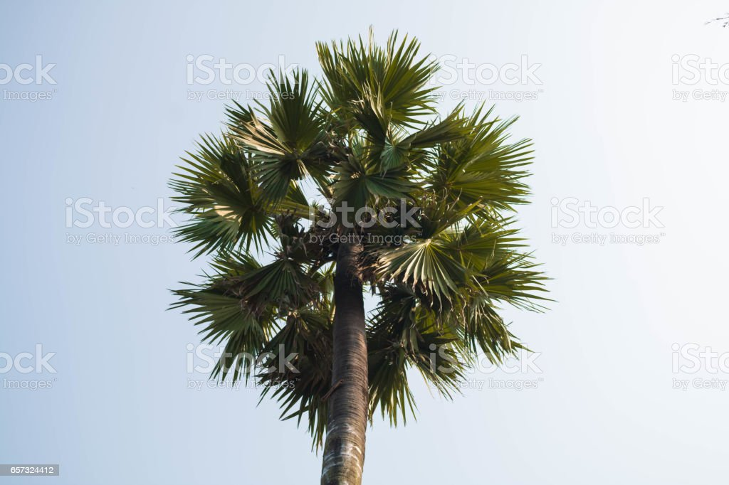 Sugar palm. stock photo
