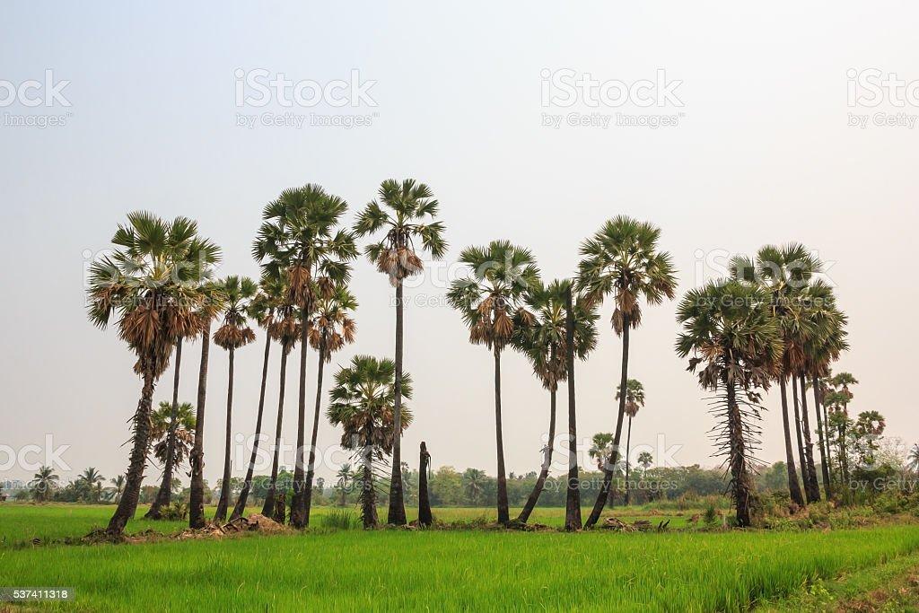 Sugar palm tree on rice field. stock photo