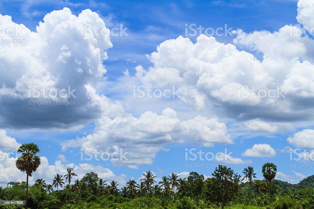Sugar palm tree with beautiful blue sky stock photo