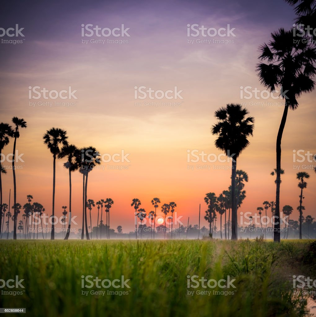 Sugar palm trees in the rice fields at misty morning stock photo