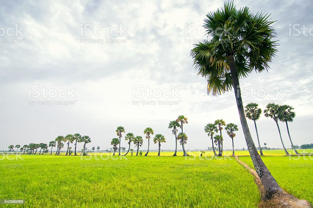 Sugar palm trees on the paddy field, Mekong Delta, Vietnam stock photo