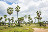 Sugar palms (borassus flabellifer) Asian Palmyra palm