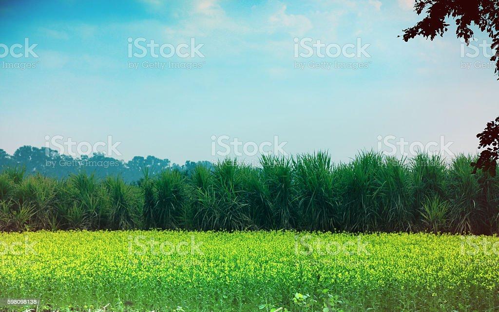Sugarcane And Mustard stock photo