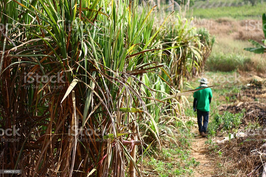 Sugarcane and worker stock photo
