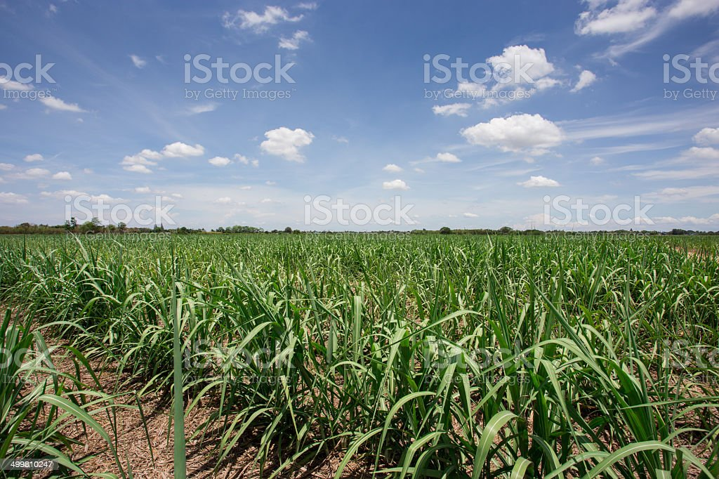 sugarcane farm with blue sky stock photo