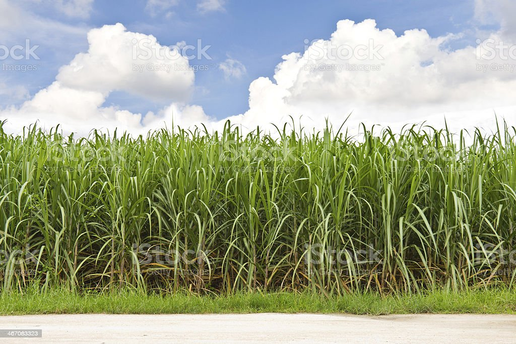 Sugarcane field and cloudy sky stock photo