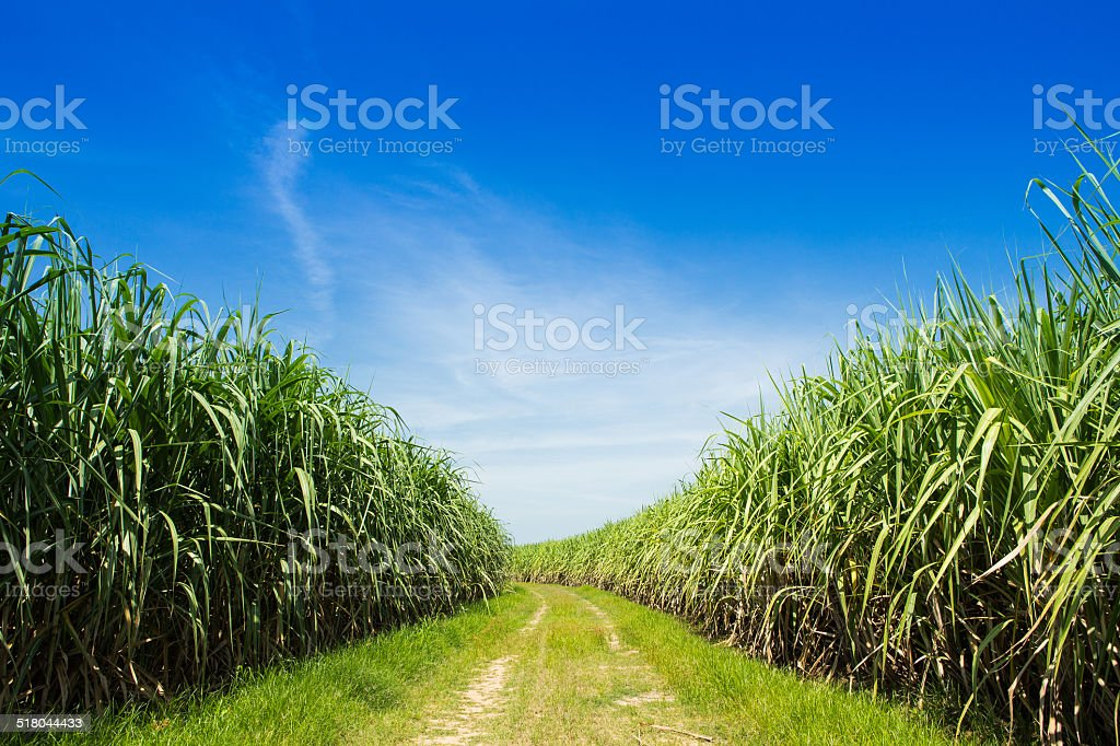 Sugarcane field and road with white cloud in Thailand stock photo