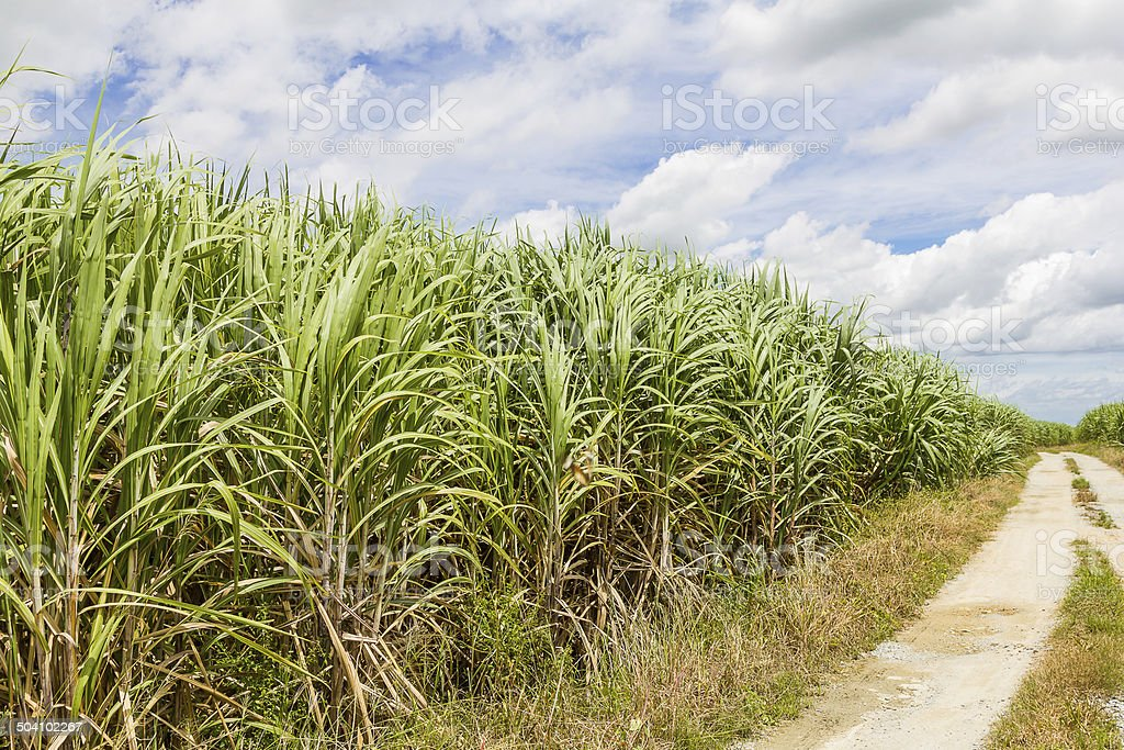 Sugarcane field and road with white cloud stock photo