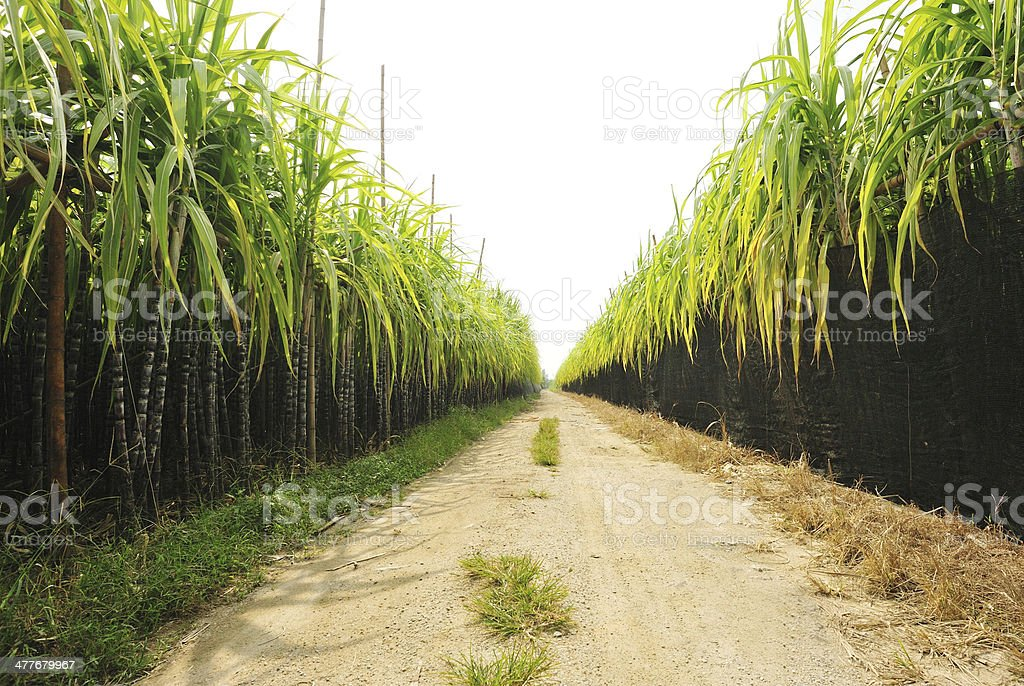 sugarcane field and trail stock photo