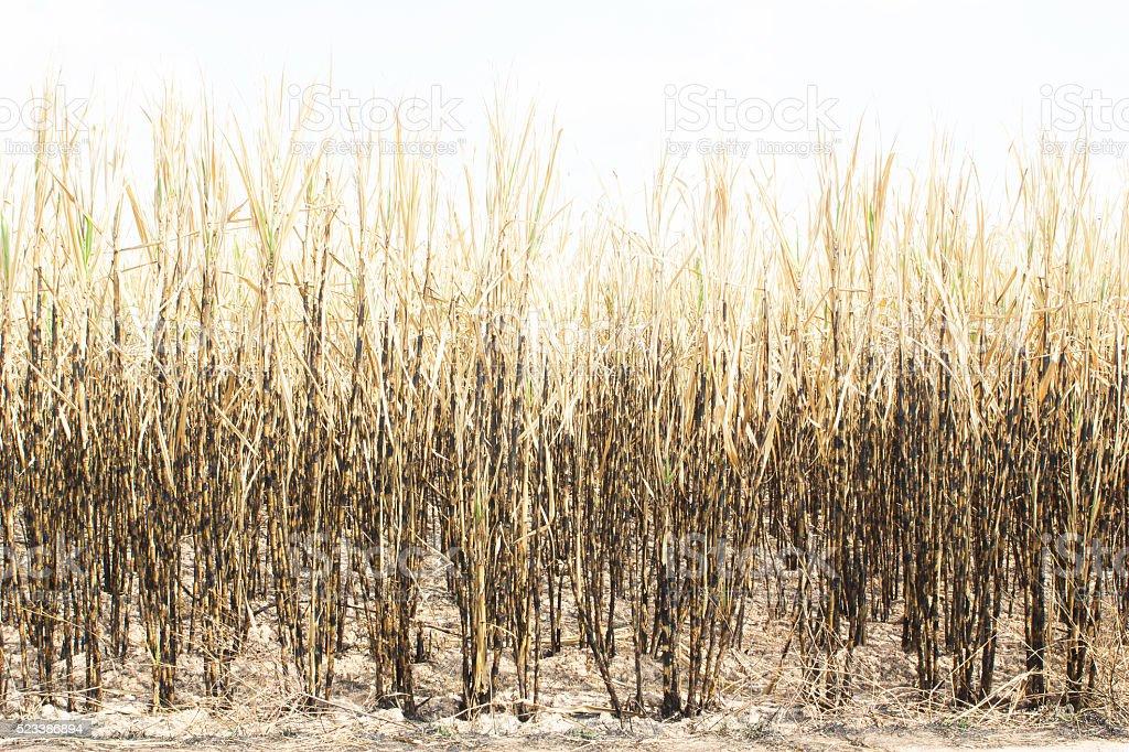 Sugarcane field fired. stock photo