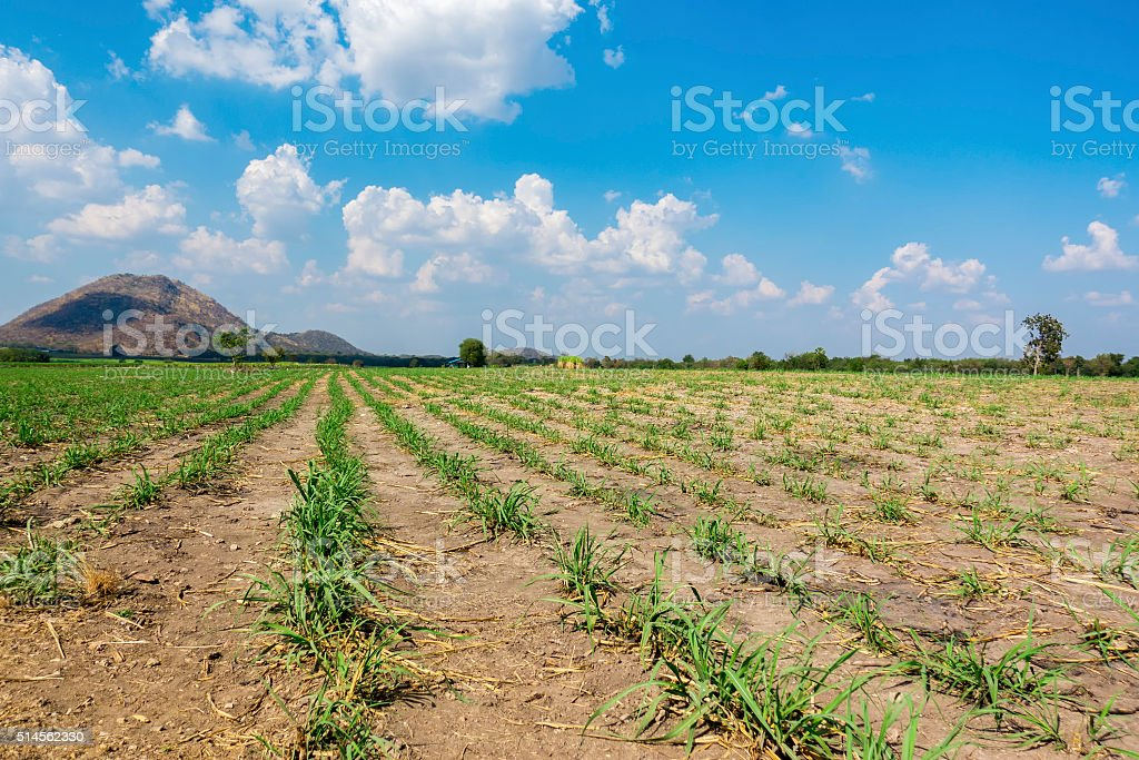 Sugarcane field in Thailand. stock photo