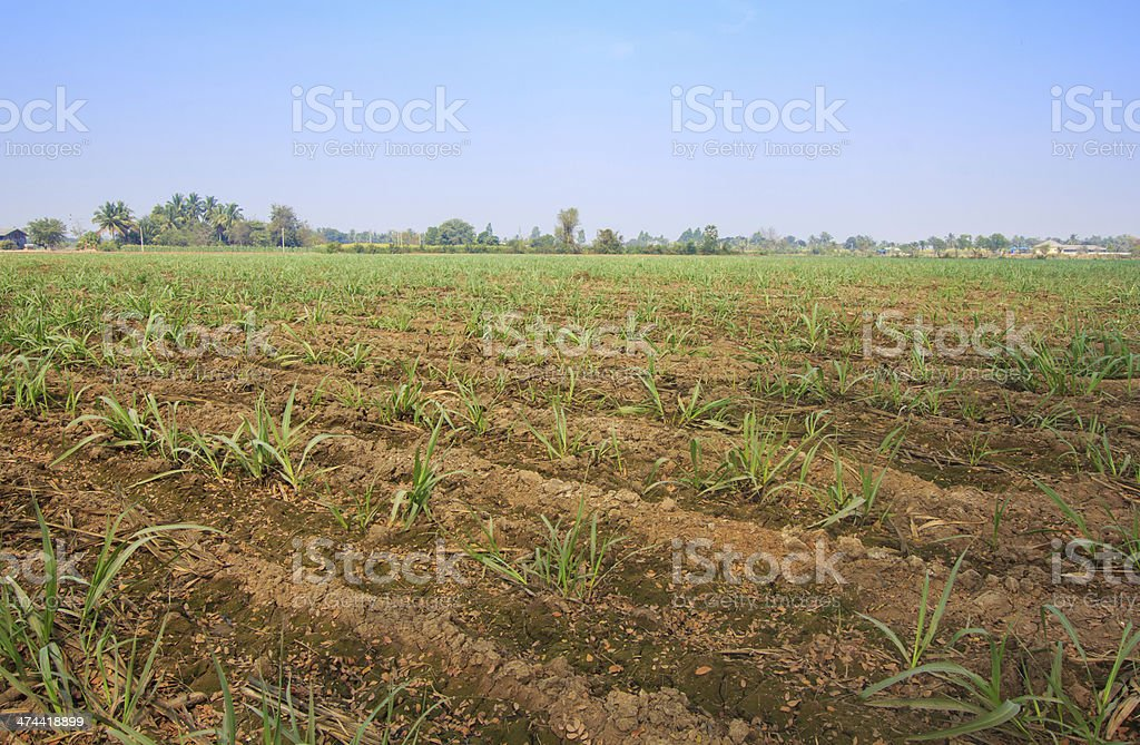 Sugarcane field royalty-free stock photo