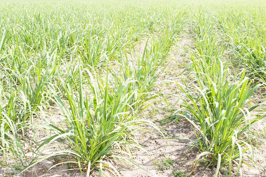 Sugarcane field. stock photo