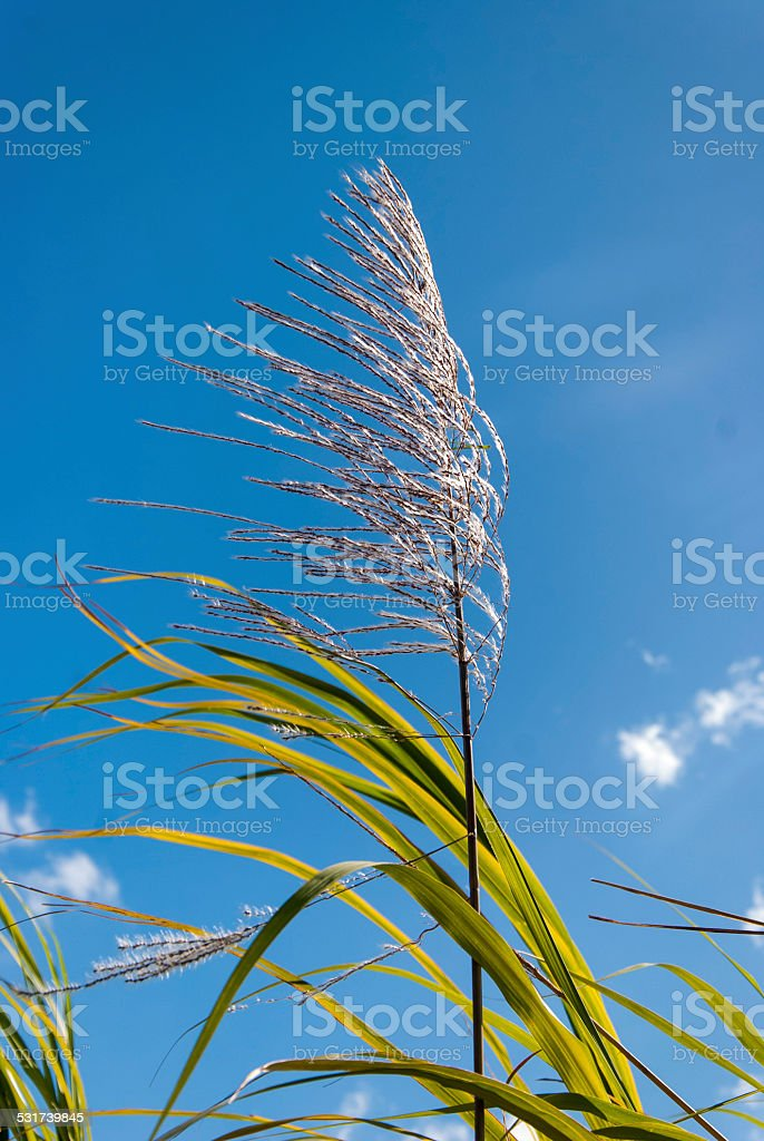 Sugar-cane flower royalty-free stock photo