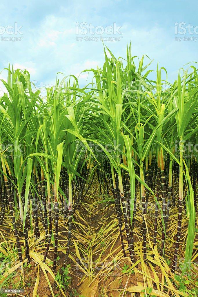 Sugarcane growing on a plantation royalty-free stock photo