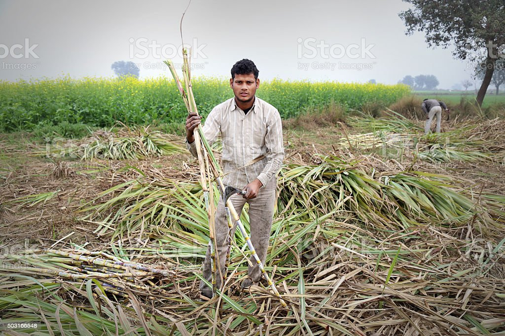 Sugarcane Harvesting stock photo
