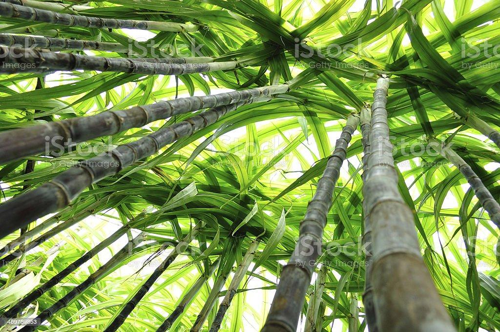 sugarcane looking up stock photo