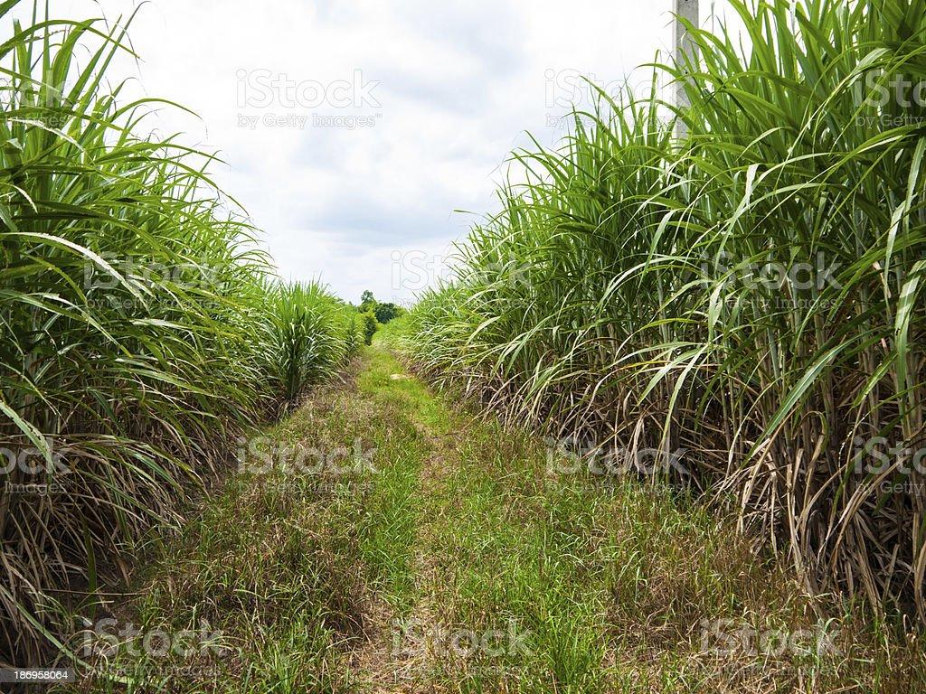 Sugarcane royalty-free stock photo