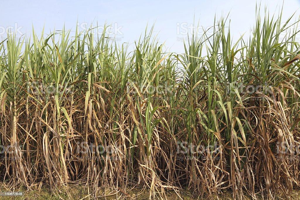Sugarcane plantation (Ethanol fuel) royalty-free stock photo
