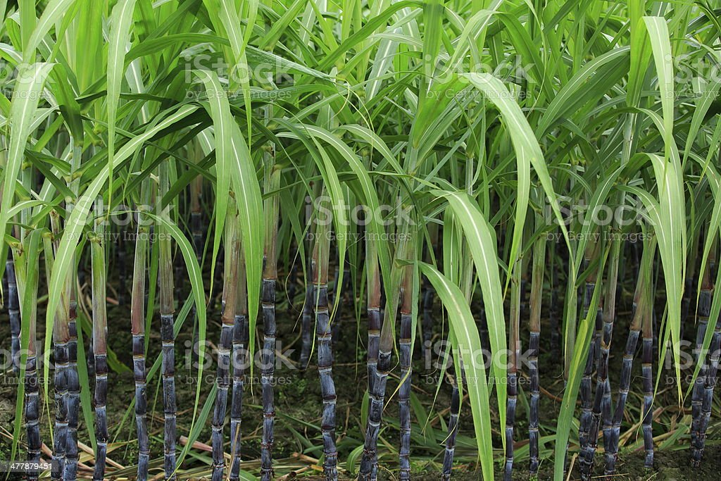 sugarcane plants royalty-free stock photo