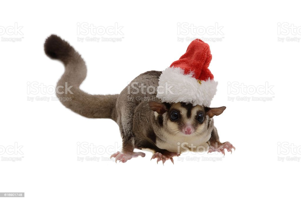 Sugargleder wearing red Santa Claus hat. stock photo