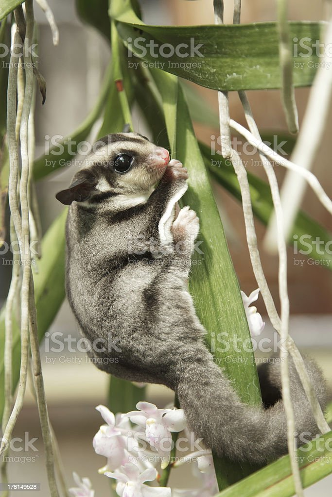 sugarglider climb on the tree royalty-free stock photo