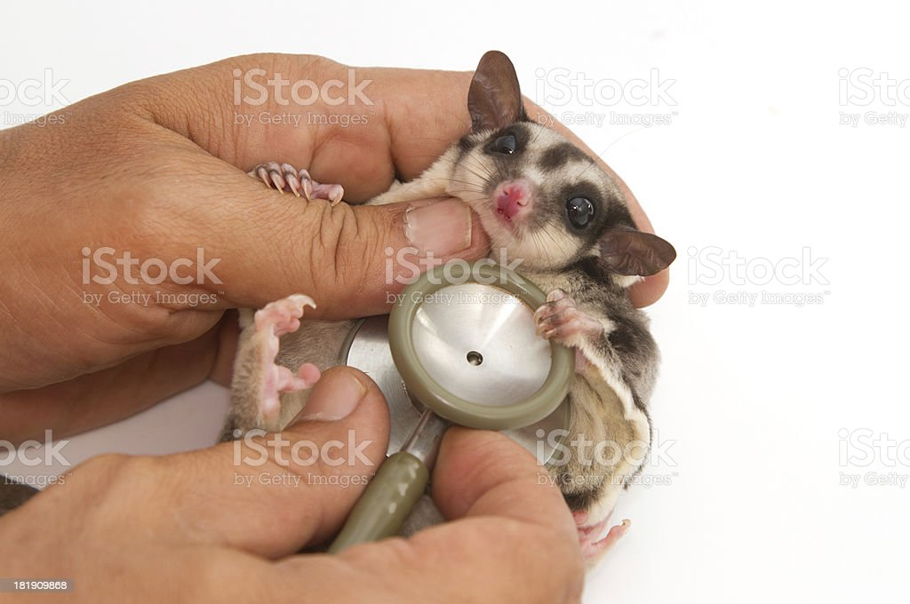 sugarglider getting checkup  by veterinary with stethoscope stock photo