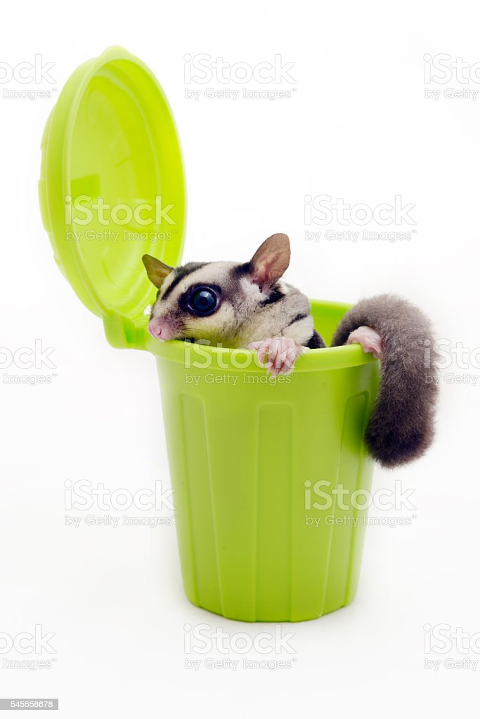 Sugarglider in green trash bin looking out. stock photo