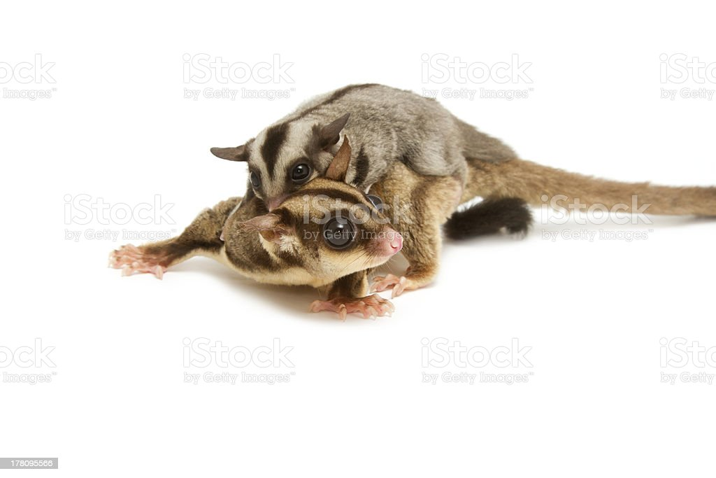 sugar-glider mom and little joey cling back royalty-free stock photo