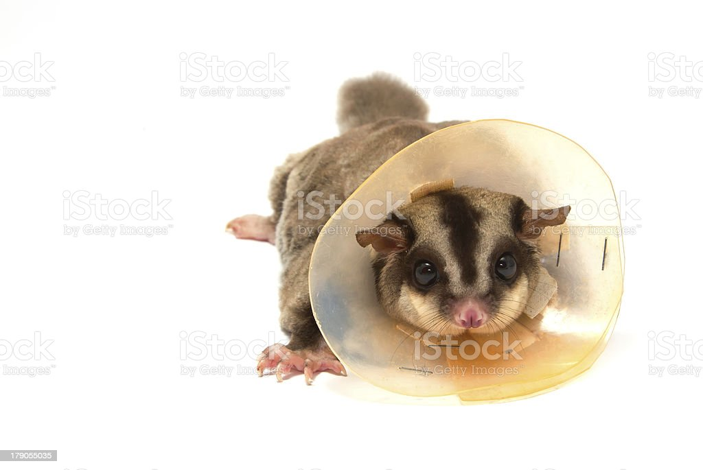 sugarglider sick wearing (protective) collar stock photo