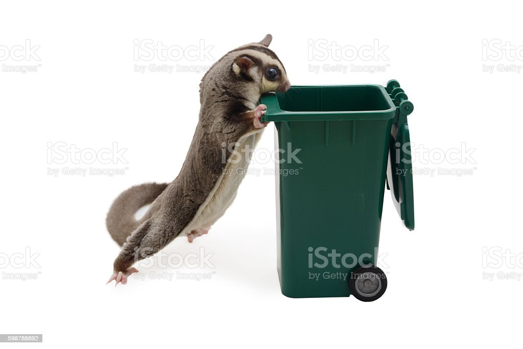 Sugarglider standing and look in to green garbage bin. stock photo