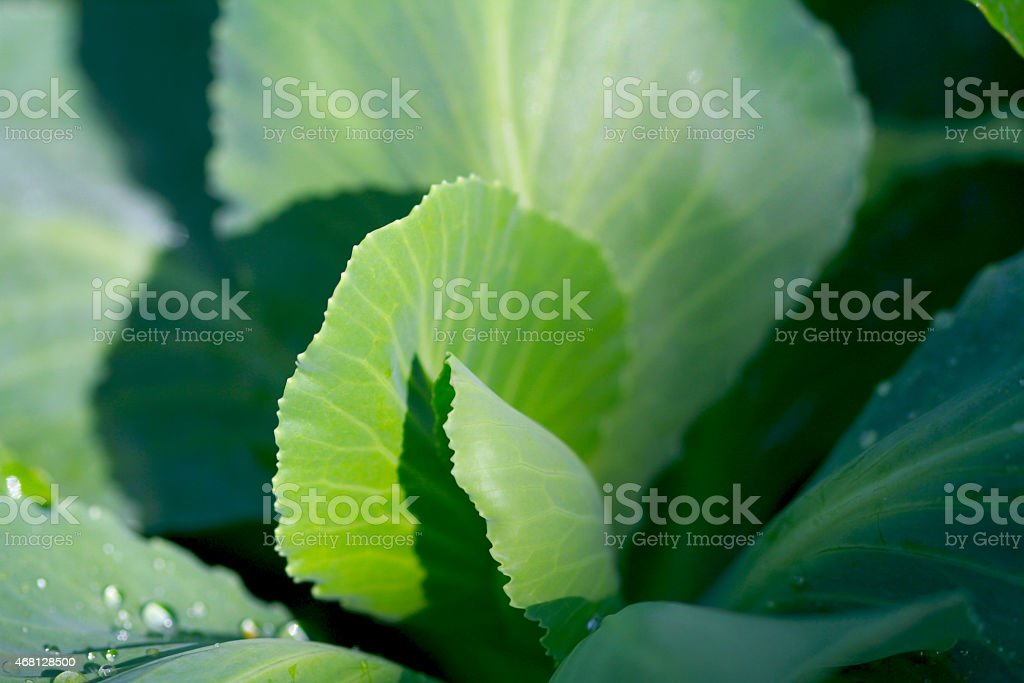 Sugarloaf cabbage heart stock photo