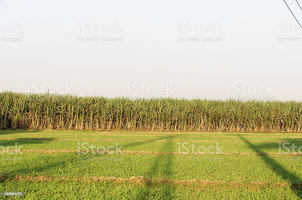 sugercane fields and green grass stock photo