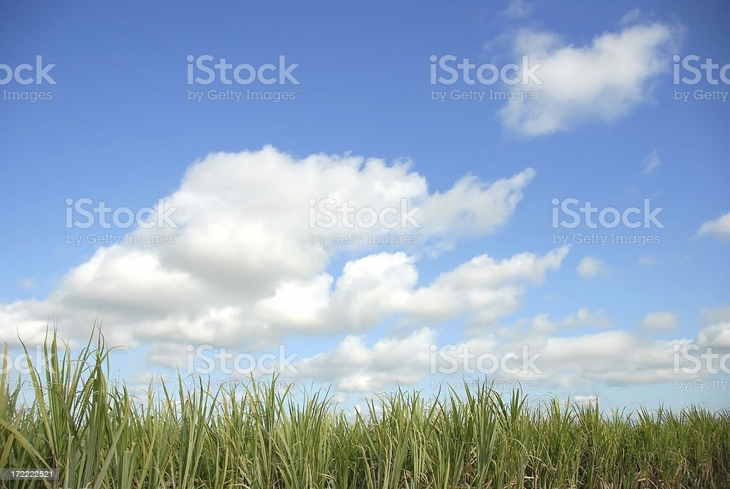 Suger-cane fields in the Dominican Republic royalty-free stock photo