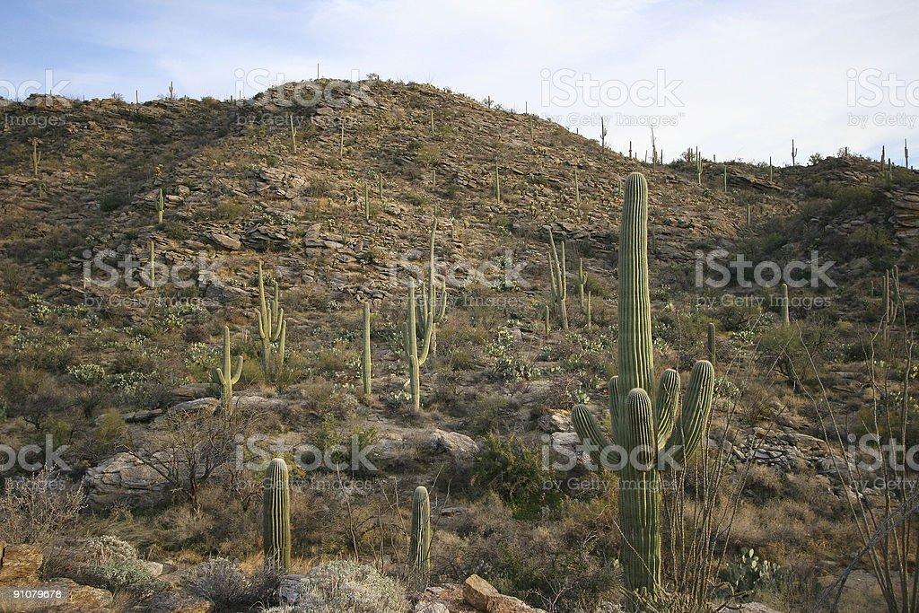 Suguaro cactus stock photo