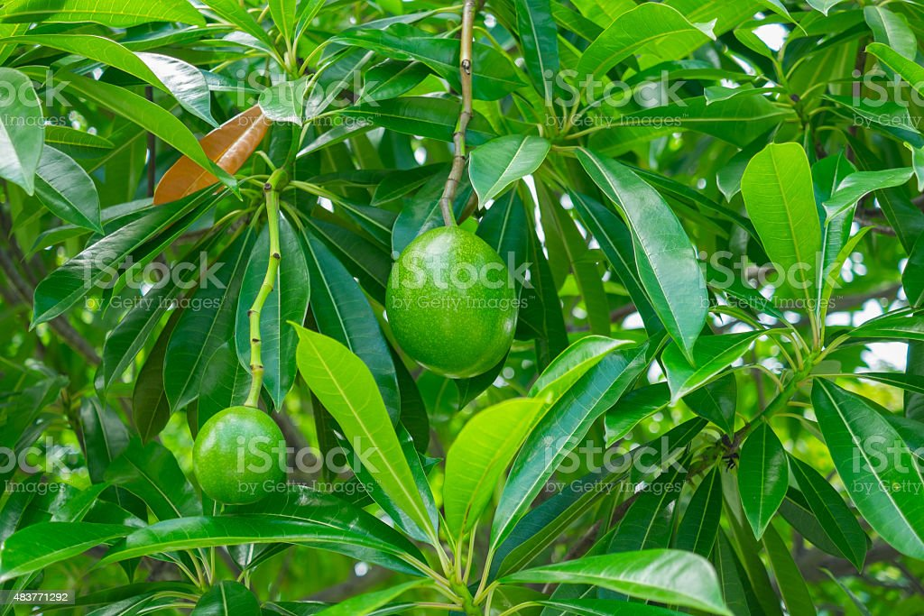 Suicide tree or Pong Pong fruit stock photo