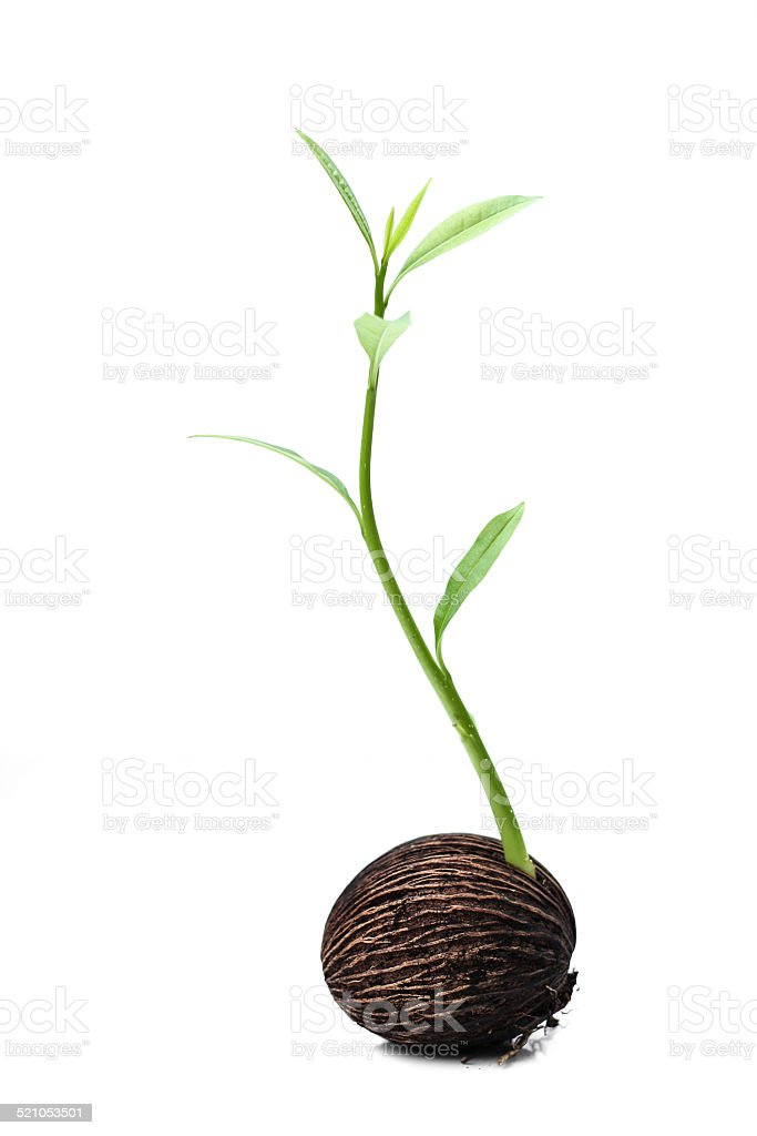 suicide tree seed new life stock photo