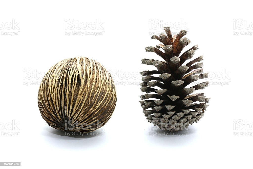 Suicide tree seed, Pong pong seed with cone pine-tree stock photo