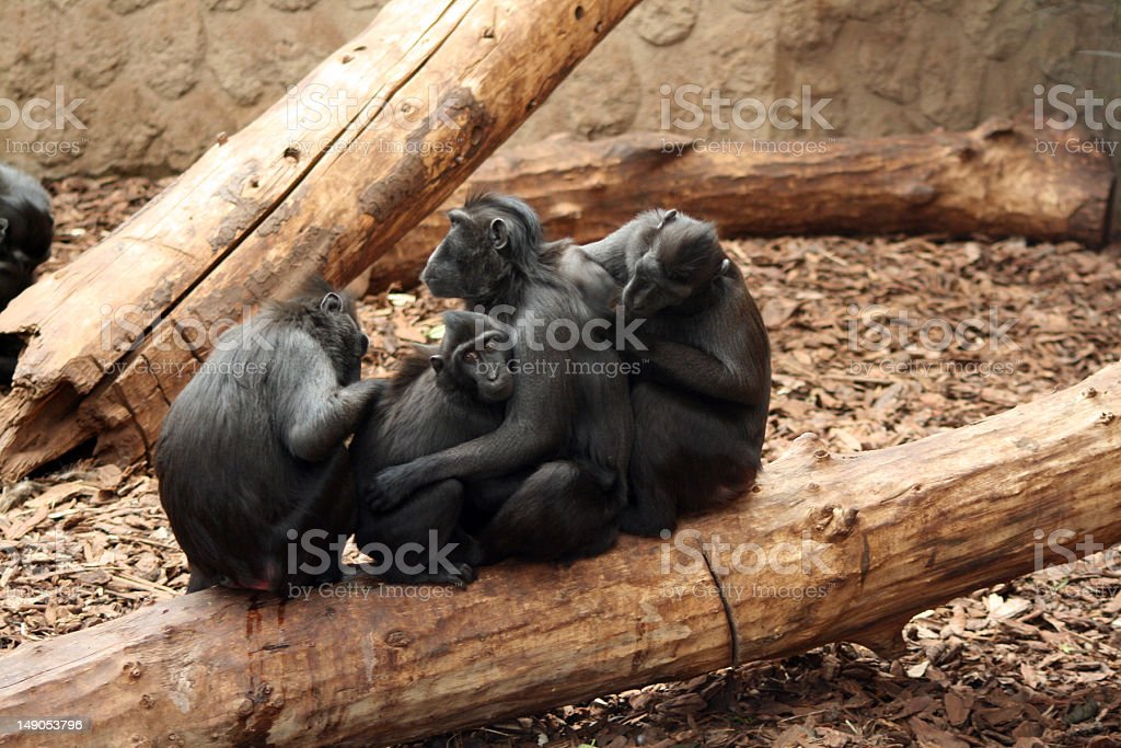 Sulawesi / Celebes Crested Black Macaque royalty-free stock photo
