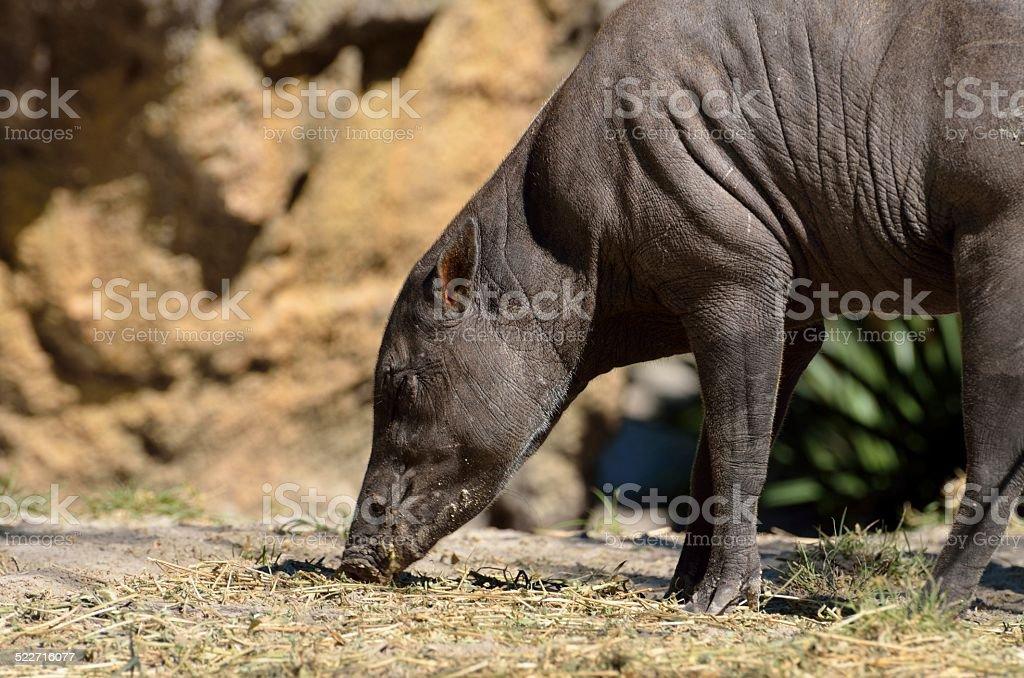 Sulawest Babirusa stock photo